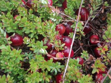 Cranberries in the bog, October 2011. Photo courtesy of Prapti Behera