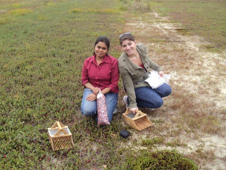 Prapti Behera and Eleni Yiantsidis harvesting fruit at the Cranberry Station